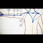 アームライン(SBAL)の筋肉の起始停止部